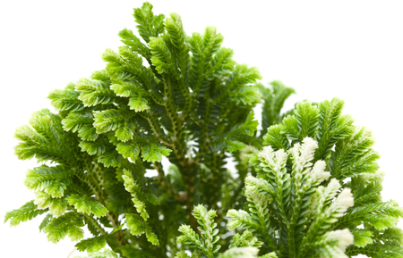fractality: Selaginella, florist tropical moss isolated on white background Stock Photo