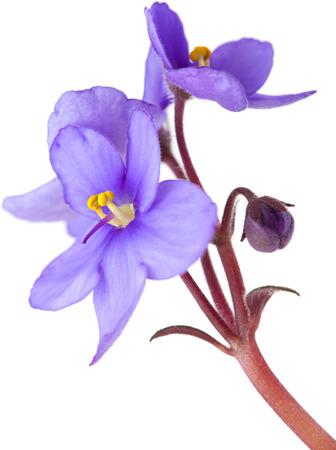 flowering saintpaulia isolated on white background photo
