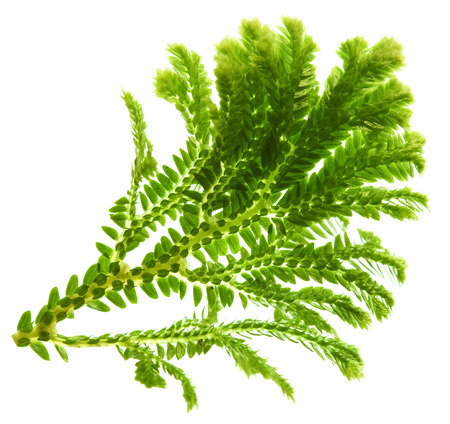 Selaginella, florist tropical moss isolated on white background photo