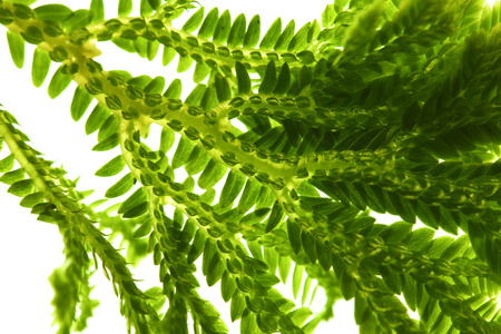 Selaginella, florist tropical moss isolated on white background 写真素材