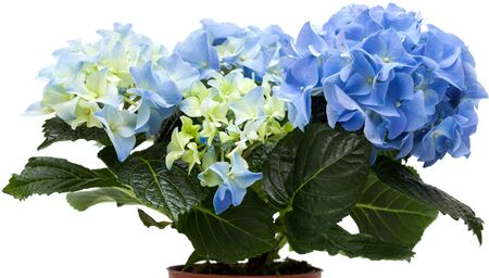 Mini hortensia azul aislado en blanco, toda la planta photo