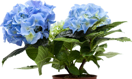 blue mini hydrangea isolated on white, whole plant photo