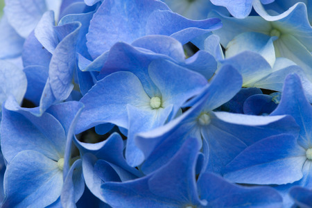 blue hydrangea natural background photo