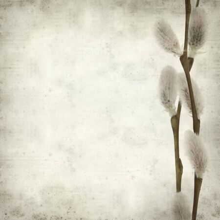 textured old paper background with willow catkins photo