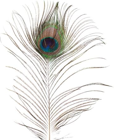 pavo: peacock feather isolated on white background