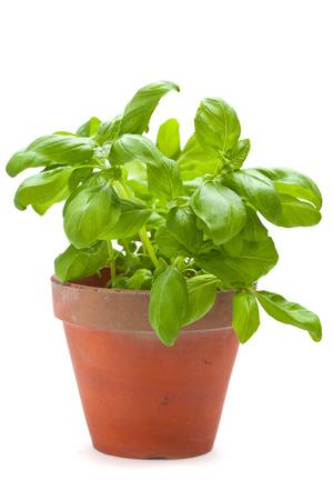sweet basil plants isolated on white photo