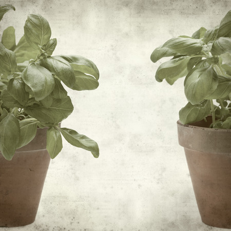 textured old paper background with sweet basil plant photo