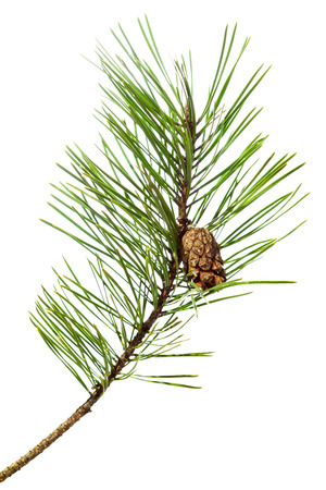 pine branch isolated on white  Фото со стока