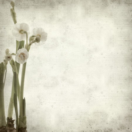 textured old paper background with double narcissi photo