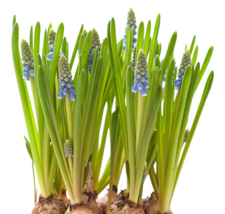 growing muscari isolated on white background photo