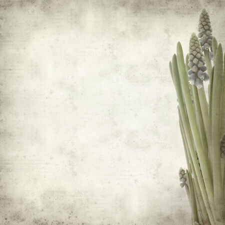 textured old paper background with muscari photo