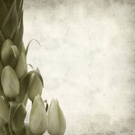 ornithogalum: textured old paper background with Ornithogalum; Stock Photo