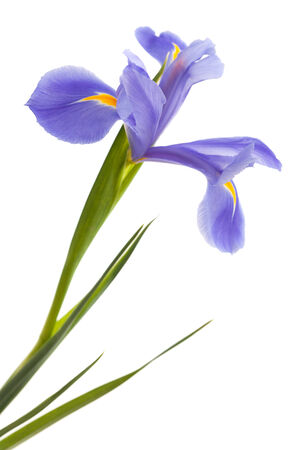 purple iris flower isolated on white background photo