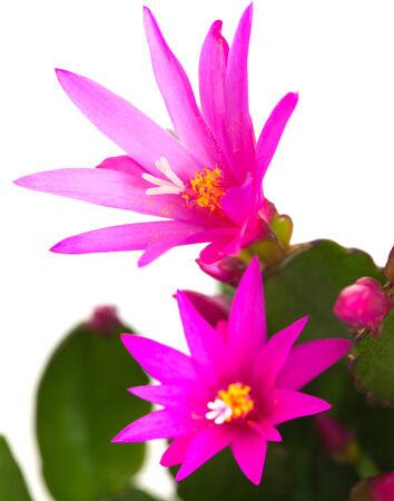 Magenta  Christmas Cactus isolated on white Reklamní fotografie