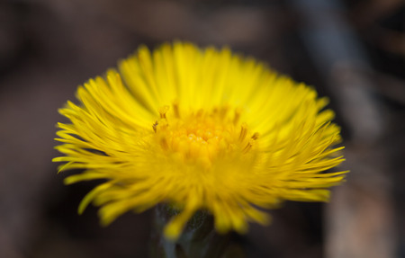 invasive plant: flowering bright yellow early spring plant coltsfoot