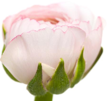buttercup persian: pallida ranuncoli rosa, ranuncolo persiano, isolato su sfondo bianco Archivio Fotografico