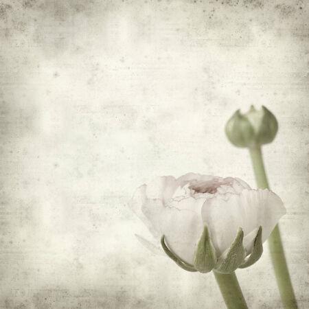 buttercup persian: texture vecchio sfondo di carta con chiaro ranuncoli rosa, ranuncolo persiano Archivio Fotografico