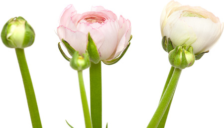 persian buttercup: pale pink ranunculus, persian buttercup, isolated on white background Stock Photo