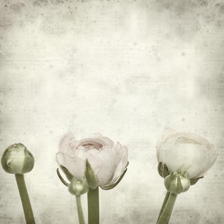 buttercup persian: texture di sfondo vecchia carta con rosa pallido ranuncolo, ranuncolo persiano Archivio Fotografico