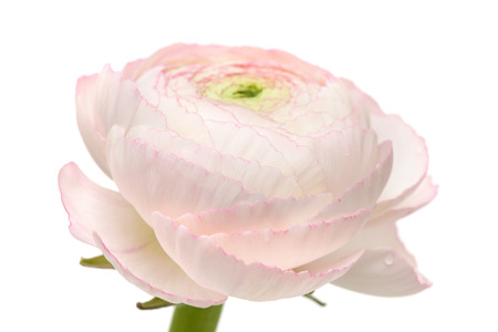 persian buttercup: pale pink ranunculus, persian buttercup, isolated on white