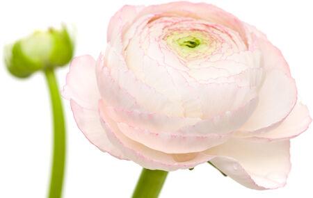 buttercup persian: pallida ranuncoli rosa, ranuncolo persiano, isolato su bianco