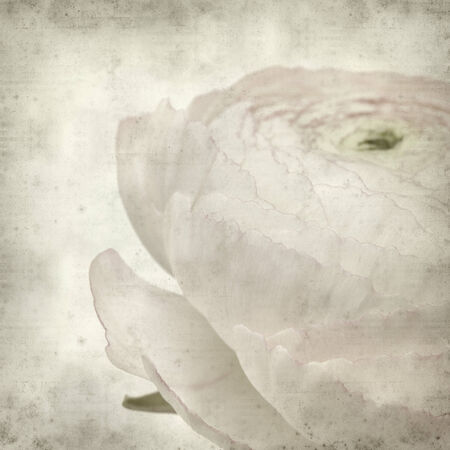 textured old paper background with pale pink ranunculus, persian buttercup photo
