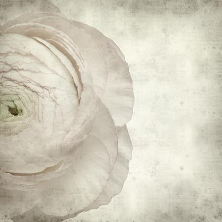 buttercup persian: trama vecchio sfondo di carta con rosa pallido ranuncolo, ranuncolo persiano
