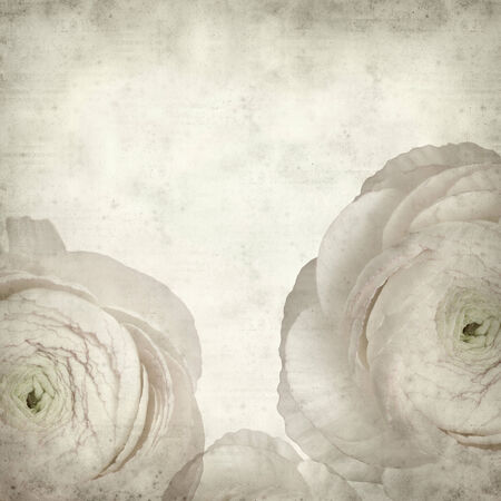 persian buttercup: textured old paper background with pale pink ranunculus, persian buttercup Stock Photo