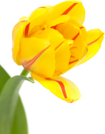 striping: Yellow tulip with red striping, isolated on white Stock Photo