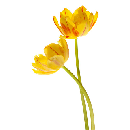 striping: yellow tulip with red striping