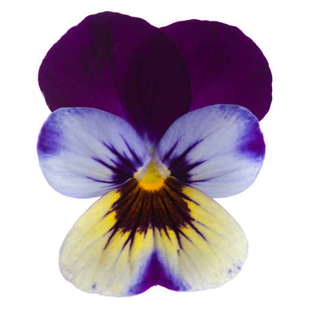 garden viola isolated on white photo