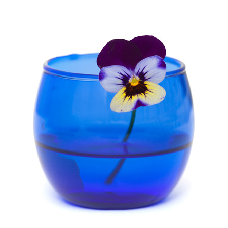 garden viola in a small blue glass isolated on white photo