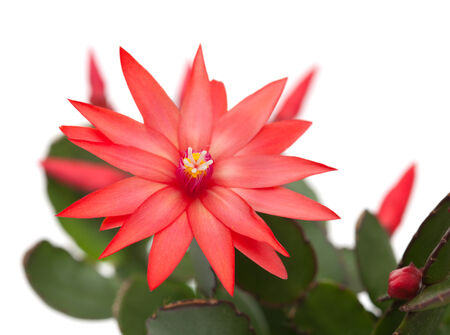 light red christmas cactus isolated on white photo
