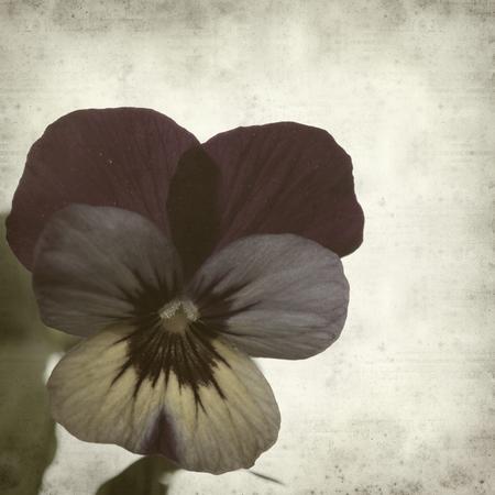 textured old paper background with garden viola