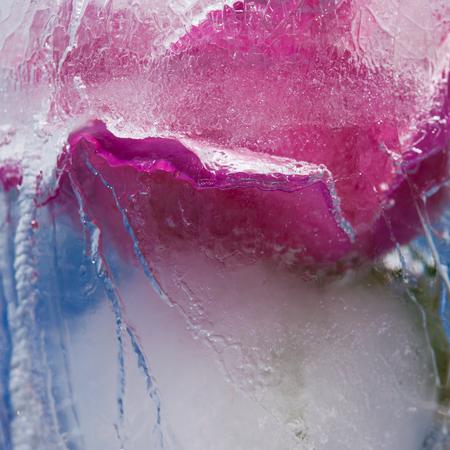 icy plants - flowers frozen into ice photo