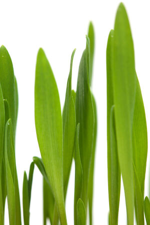 bright green grass isolated on white photo