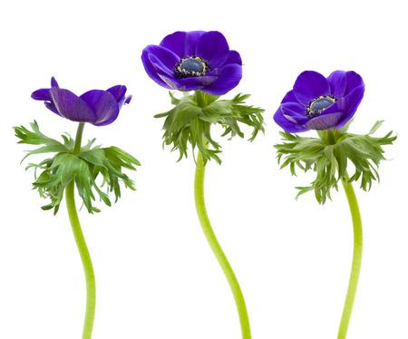 dark blue anemone flower isolated on white photo