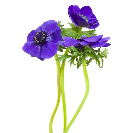 anemone flower: scuro fiore blu anemone isolato su bianco