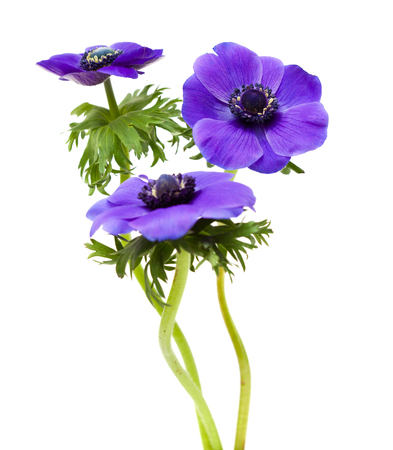 anemone flower: scuro blu fiore anemone isolato su bianco