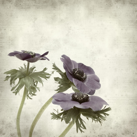 bue: textured old paper background with dark bue anemone flower