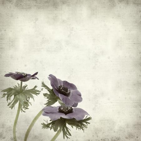 anemone flower: trama vecchio sfondo di carta con Bue scuro anemone fiore Archivio Fotografico