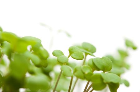 growing food - rocket salad seedlings photo