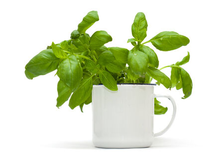growing sweet basil plants in an enamel mug isolated on white photo