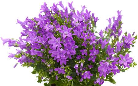 bellflower: flowering wall bellflower Campanula portenschlagiana