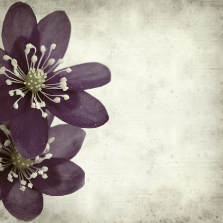hepatica: textured old paper background with anemone hepatica