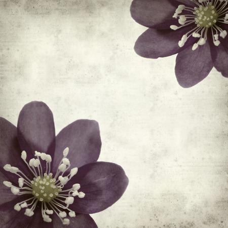 textured old paper background with anemone hepatica photo