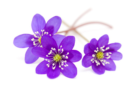 Anemone hepatica isolated on white photo