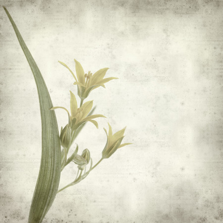 textured old paper background with gagea flower photo
