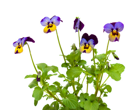 garden pansy isolated on white photo