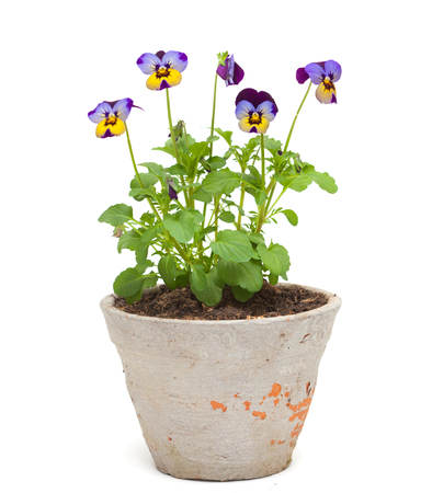 garden pansy plant in an old pot isolated on white photo